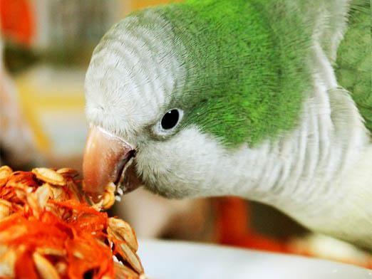 Чим годувати папугу