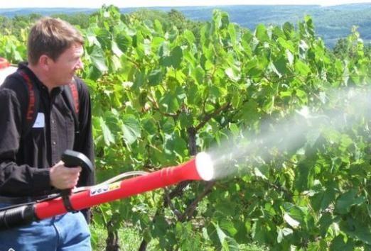 Чим обробляють виноград?