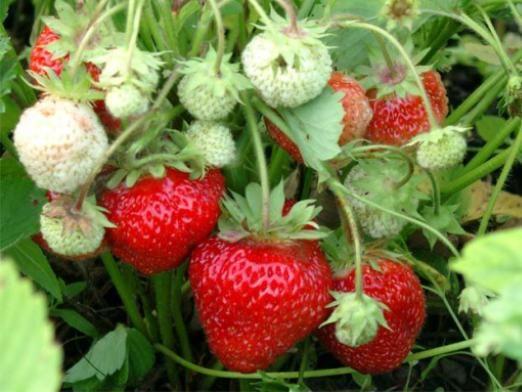 Чим підгодовувати полуницю?