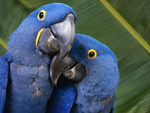 Як кажуть папуги?