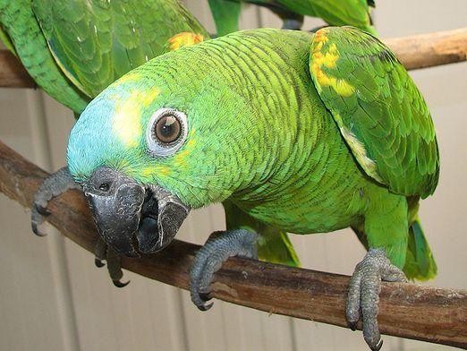 Як назвати папугу-хлопчика?