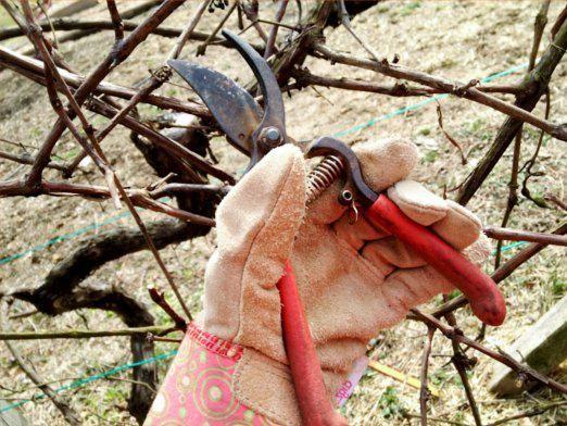 Як обрізати виноград?