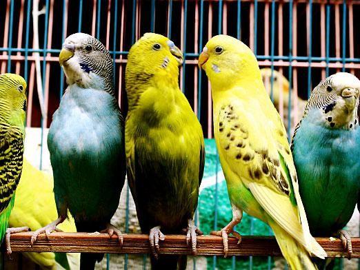 Як визначити стать папуги?