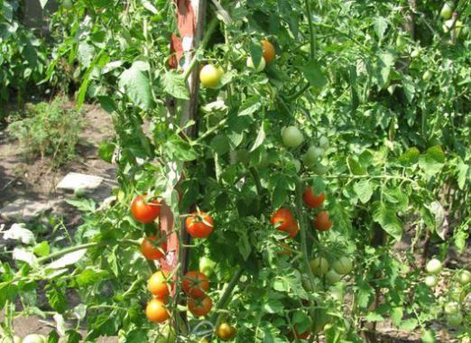 Як підв'язувати помідори?