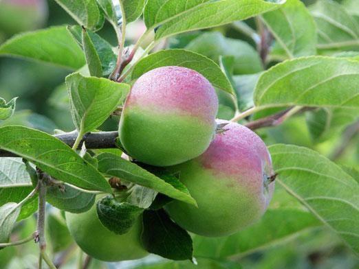 Як прищепити яблуню?