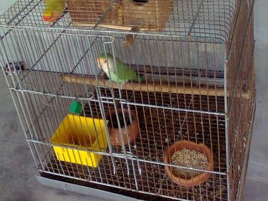 Як зробити клітку папузі?