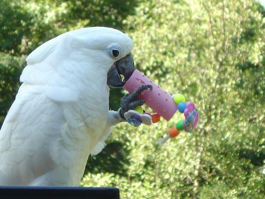 Як зробити папузі іграшку?