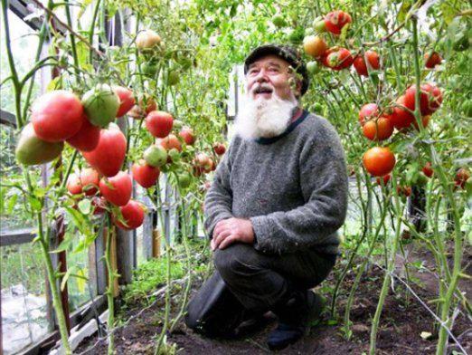 Як доглядати за помідорами?