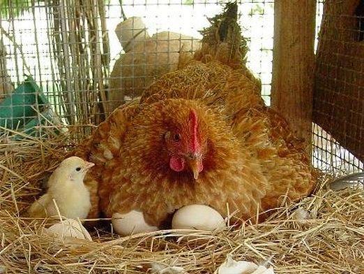 Як висиджувати яйця?