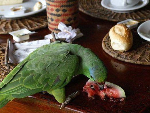 Які фрукти можна папузі?