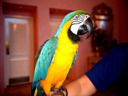 Які папуги розмовляють?
