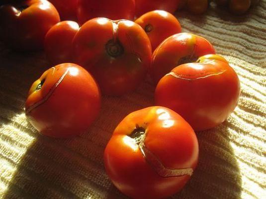 Чому тріскаються помідори?