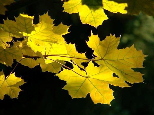 Чому жовтіє листя?